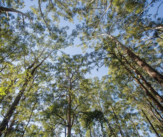 View from the ground up to the tree canopy