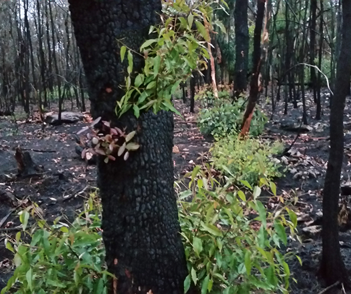 new growth on burnt tree after bushfire